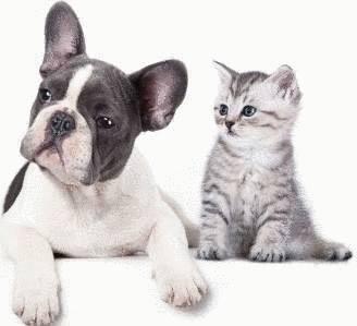 traitement anti puces chien et chat tout pratique. Black Bedroom Furniture Sets. Home Design Ideas