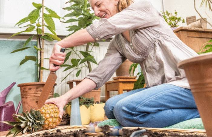 planter un ananas en 10 étapes