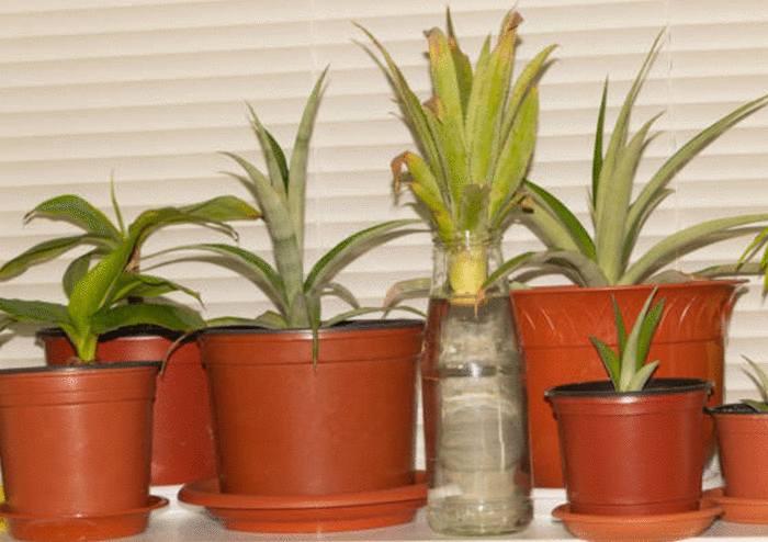 faire grandir un ananas en pot